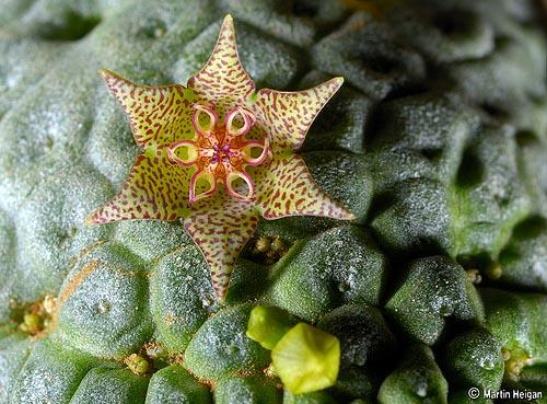 Larryleachia marlothii flower