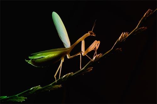 Praying Mantis in Backlight