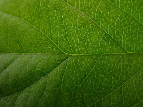 Apple Leaf Texture