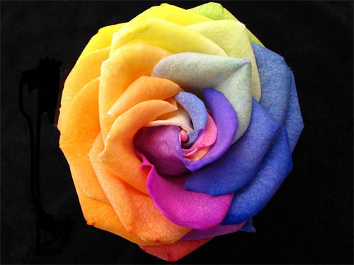 Rose Of Many Colours