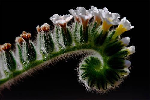 Boraginaceae / Heliotropium ellipticum